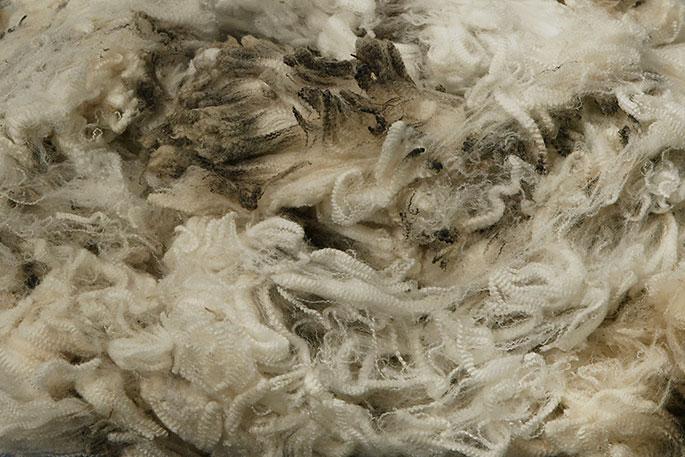 Large fleece of superfine wool