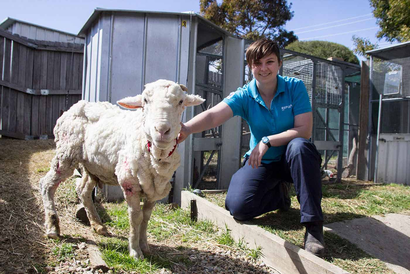 A woman, right, kneels beside a freshly-shorn sheep.  - click to view larger image
