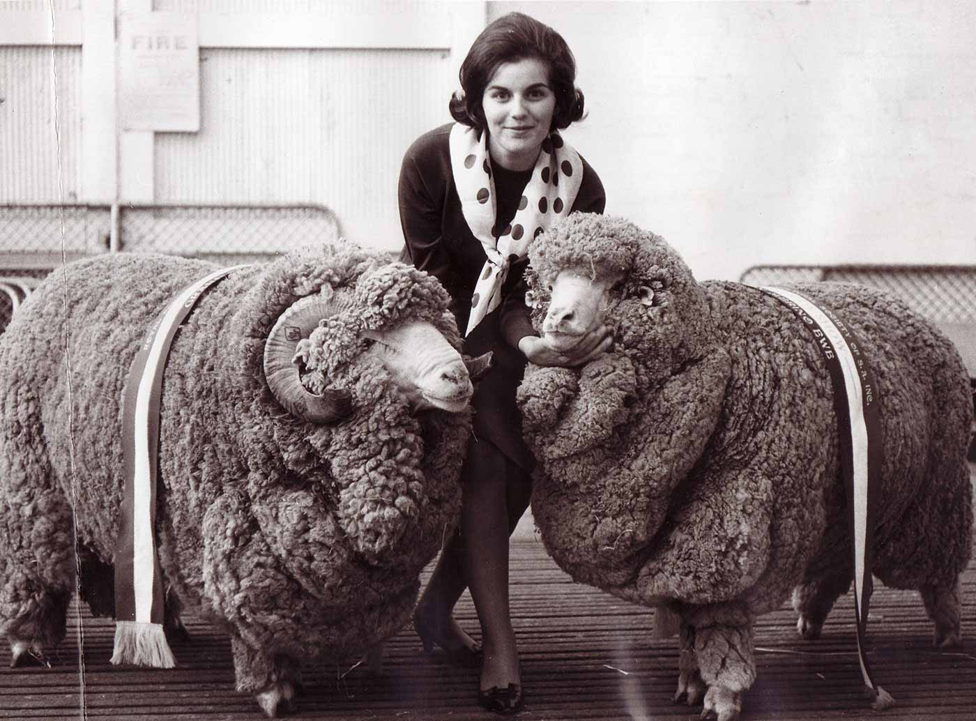 A woman standing between two large rams. The rams have prize ribbons draped over their backs. - click to view larger image