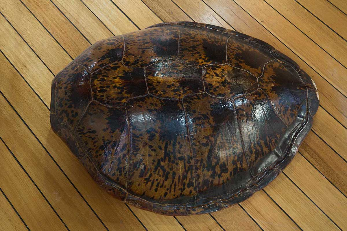 A turtle shell resting on floorboards. - click to view larger image