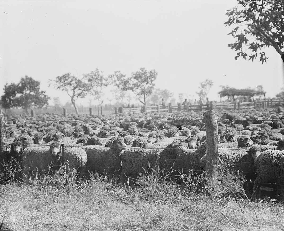 Black and white photograph of many sheep crowded into a stock yard. - click to view larger image