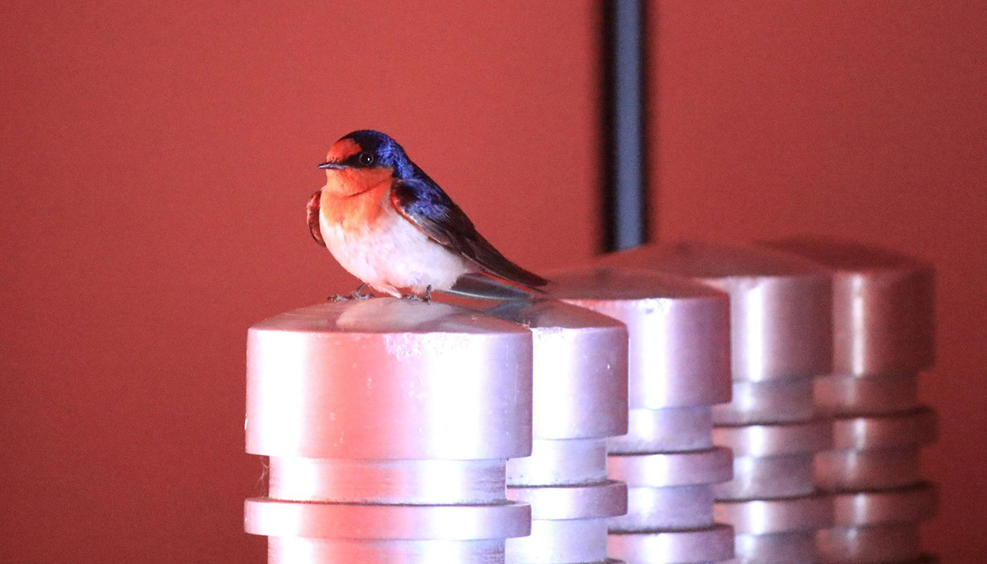 welcome swallow - click to view larger image