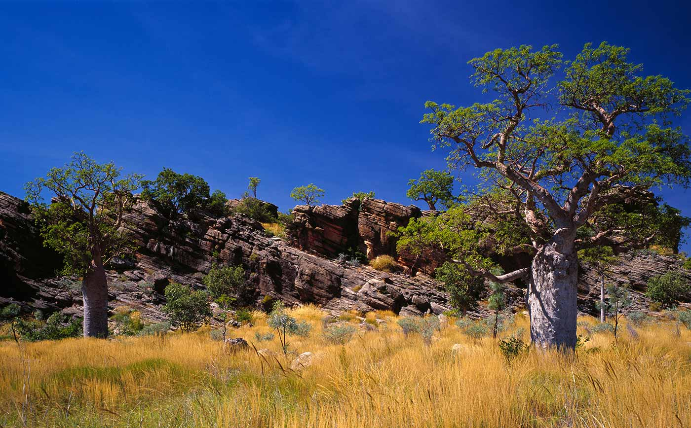 A grassy landscape with trees and a large rocky outcrop. The view is framed with a large boab tree on each side of the photo.