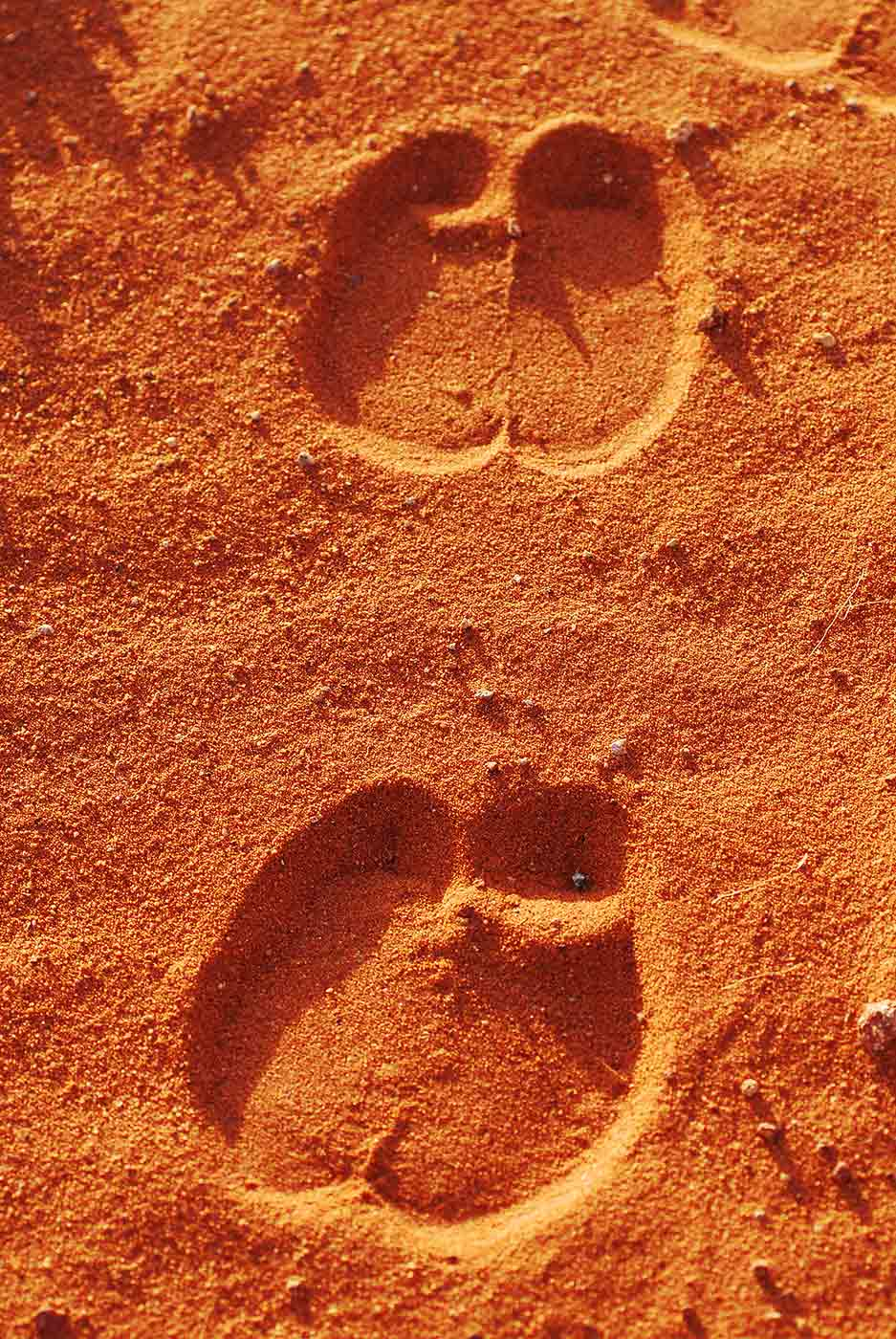 Colour photo of camel tracks in the sand. - click to view larger image