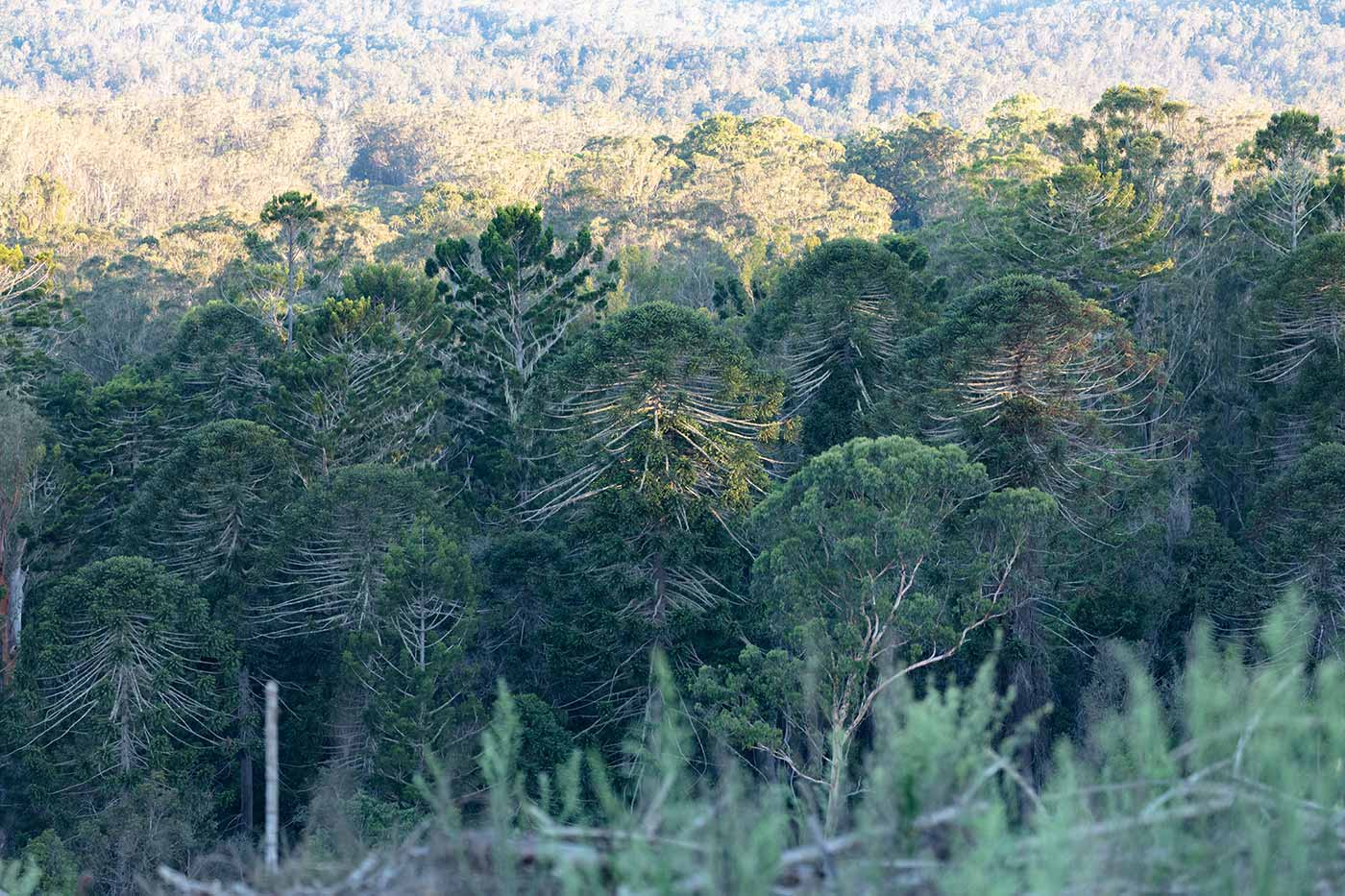 View of a bunya tree forest.