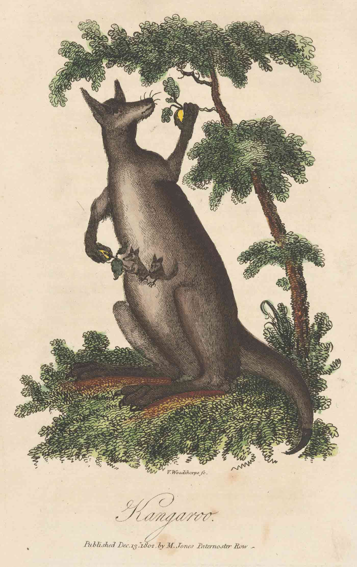 Colour illustration of a kangaroo with two joeys in its front pouch. The kangaroo holds a small tree branch with one of its paws and gives leaves to a joey with the other.  - click to view larger image