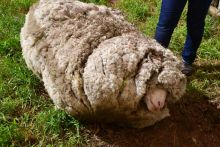 A photo of a very woolly sheep on the ground