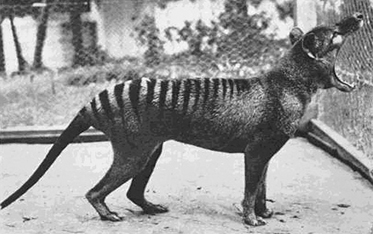 A profile black and white photo of an animal with black stripes on its back, mouth wide  open.