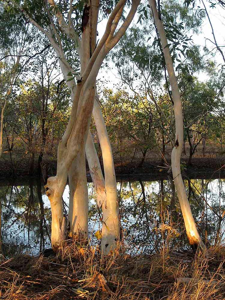 A colour photograph of tall gum trees beside a creek. - click to view larger image