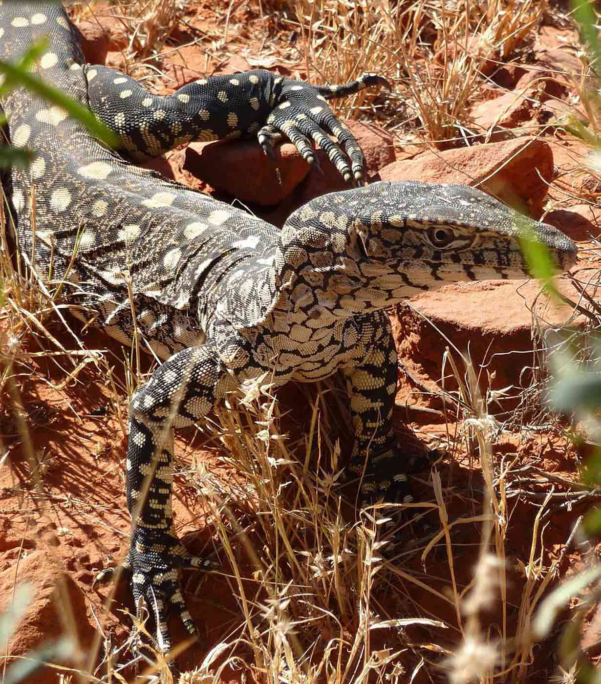 A grey-green lizard on rocky ground. - click to view larger image