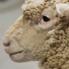 Sheep taxidermy.