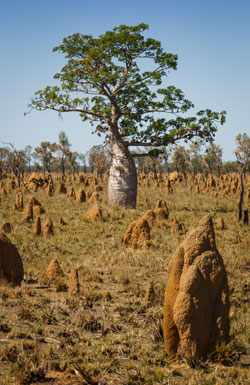 A boab tree surrounded by many termite mounds.