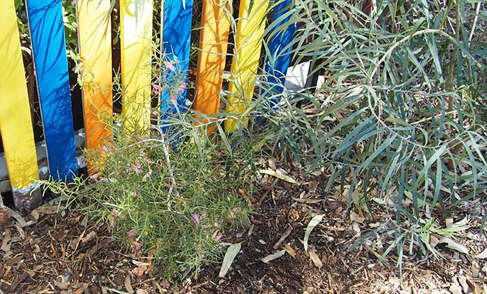 A Gidgee fuchsia bush.