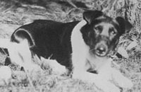 Detail of black and white coloured dog