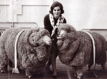 A woman standing between two large rams. The rams have prize ribbons draped over their backs.