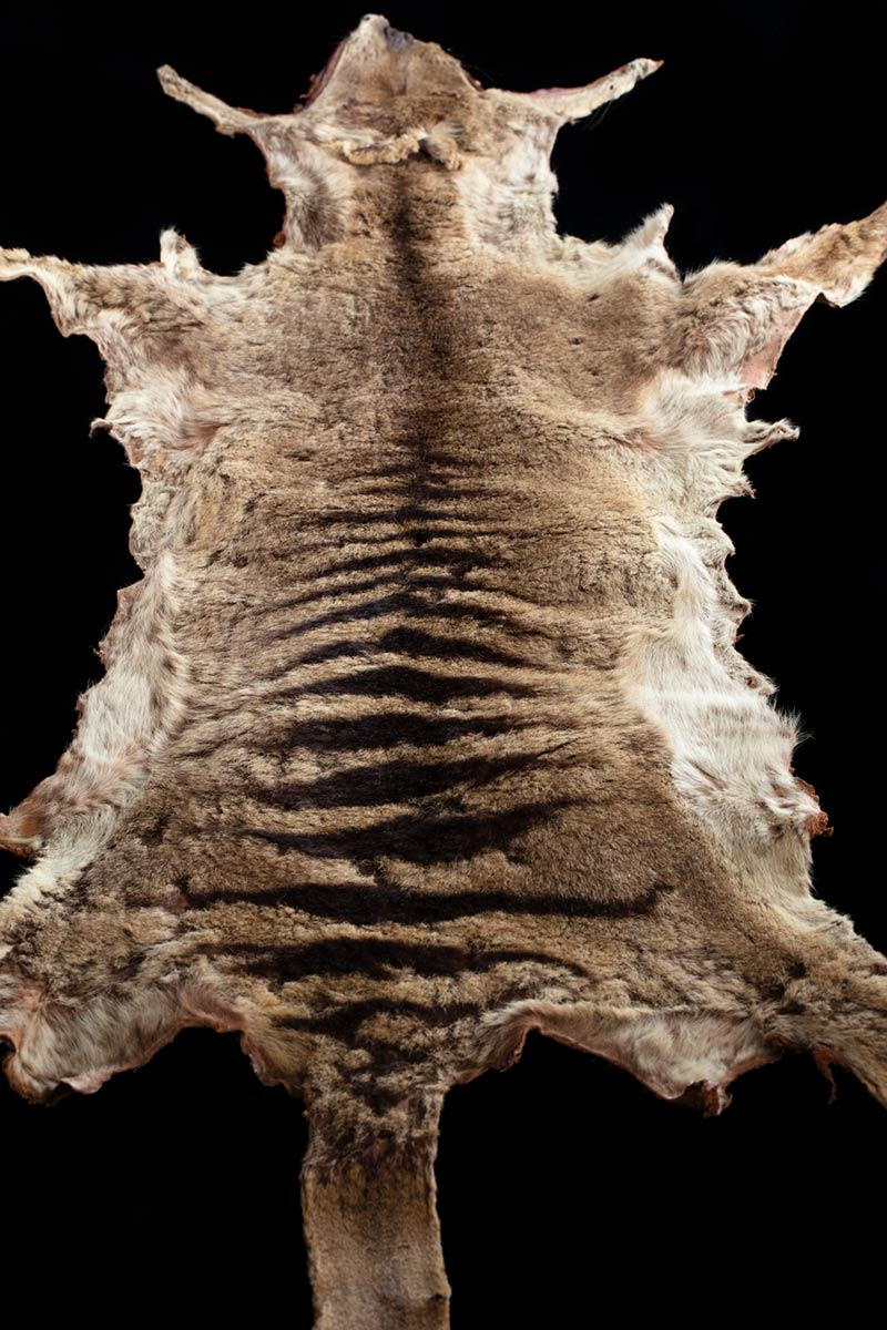 A thylacine's pelt. - click to view larger image