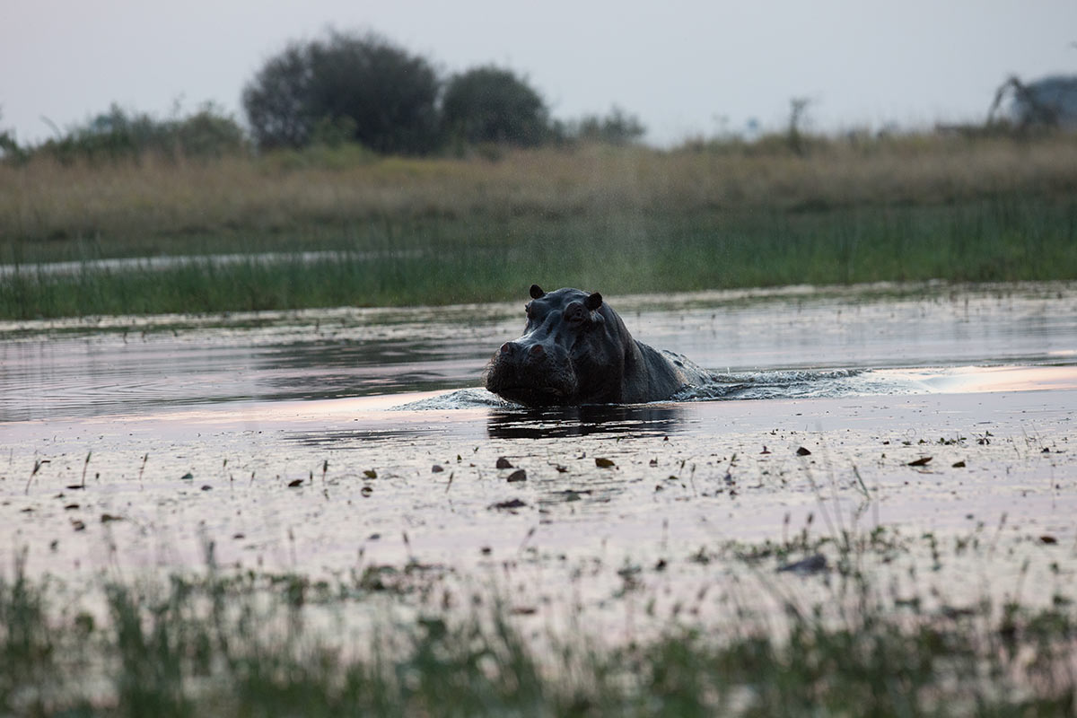 A hippopotamus emerges from water. Its head and part of its back is visible. Grasses and small bushes are in the background. - click to view larger image
