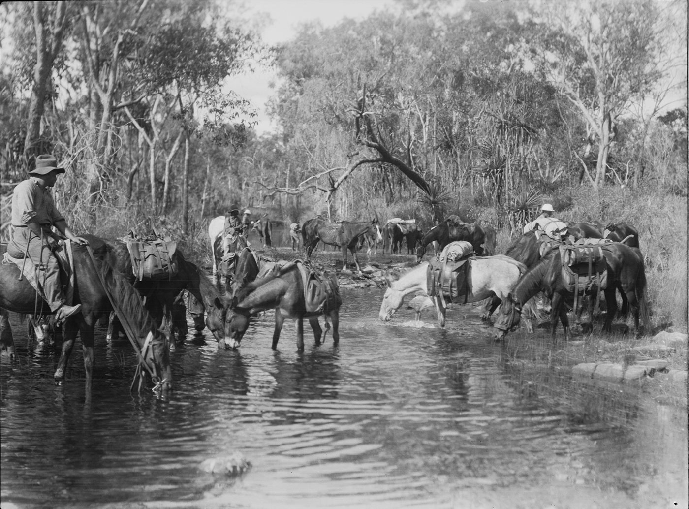 Black and white photograph of horses drinking from a shallow waterway, with scrub on either side. Two horses bear riders and several other men stand beside horses in the background. Most of the horses have pack saddles. - click to view larger image