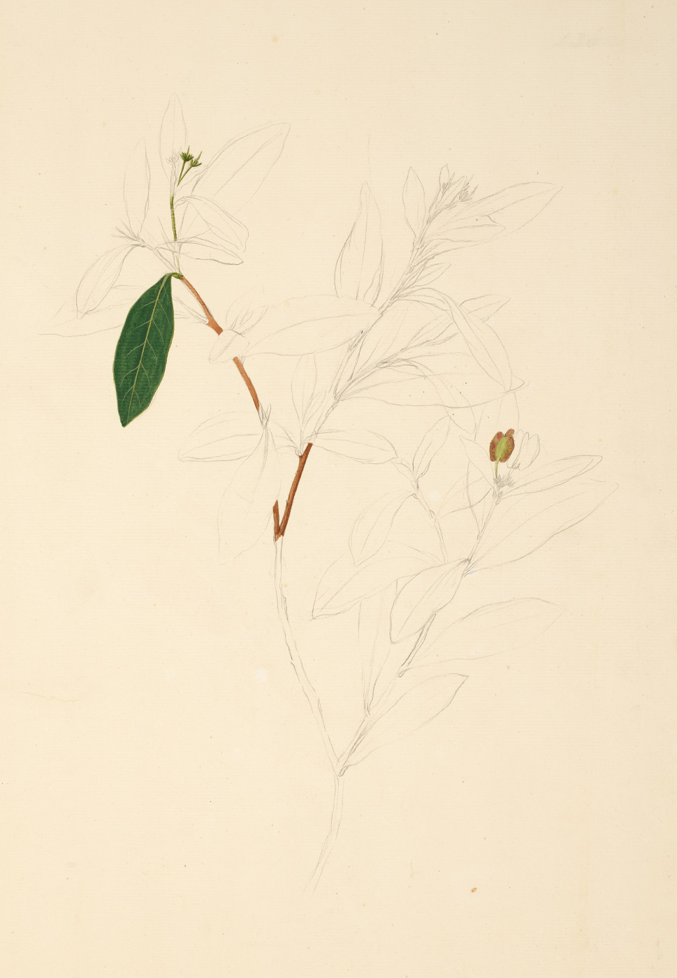 Black and white sketch of a plant, with one leaf painted green and part of the stem painted brown. - click to view larger image
