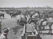Black and white photograph showing two Aboriginal stockmen on horses. The horses drink from a long water trough, where many cattle are also drinking and milling about.