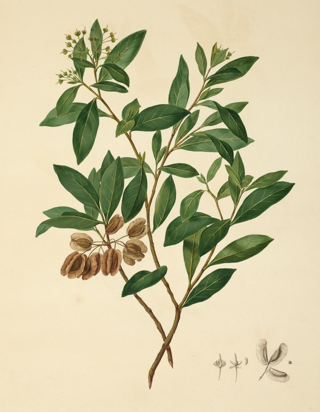 Watercolour of a plant with narrow green leaves and brown seed pods. - click to view larger image