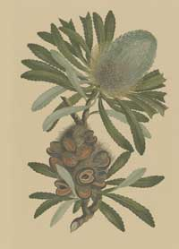 Banksia serrata engraving
