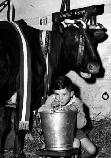 A boy drinking milk from a bucket, with a cow at rear.