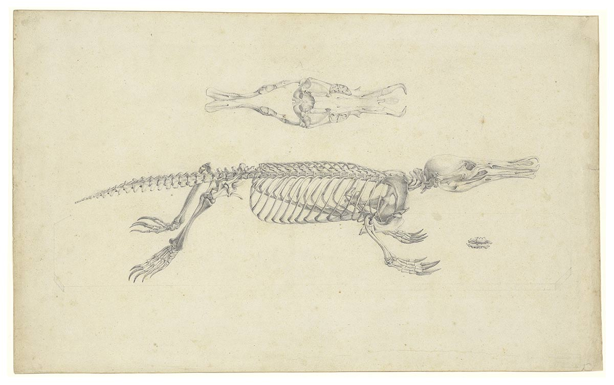 Watercolour, gouache and pencil on vellum of a platypus. - click to view larger image