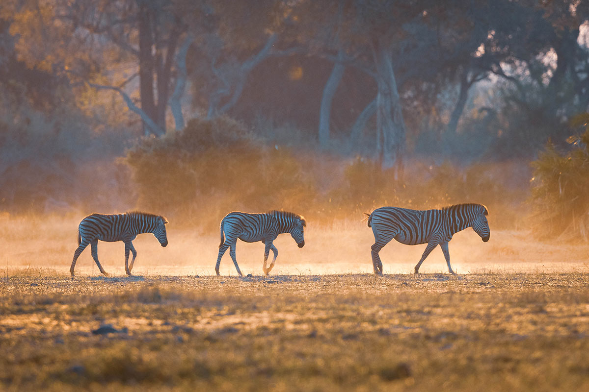 Side view of three zebras on an open plain in golden light, with trees and bushes behind.  - click to view larger image