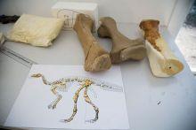Three replica bones and diagram showing a partially-coloured dinosaur skeleton