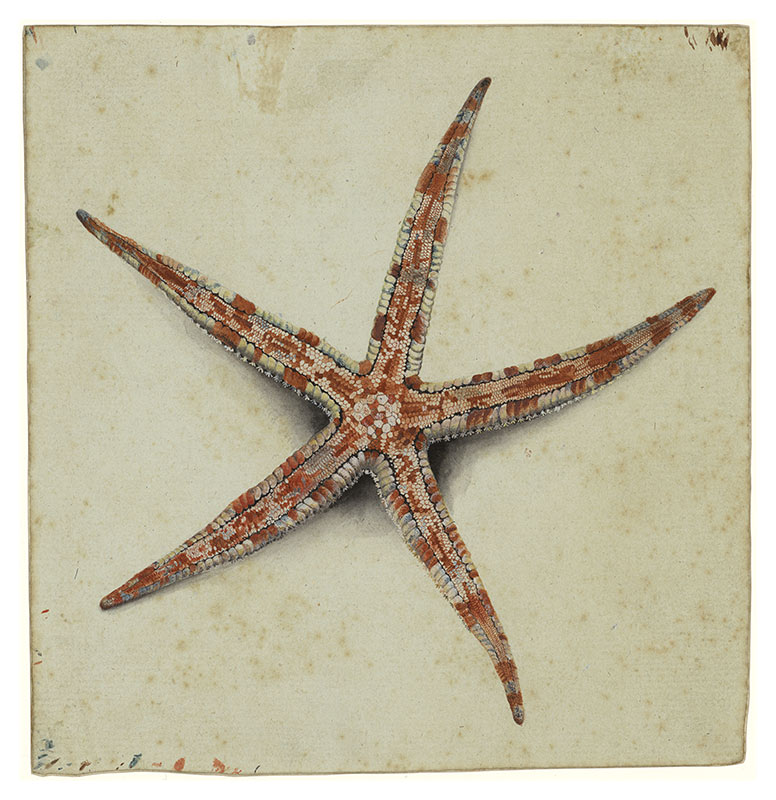 Watercolour on blue-tinted paper of a starfish. - click to view larger image