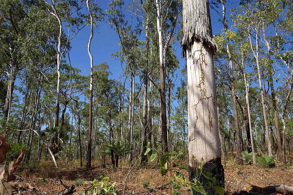 A photo of bushland populated with tall trees. The backdrop is a bright blue sky.