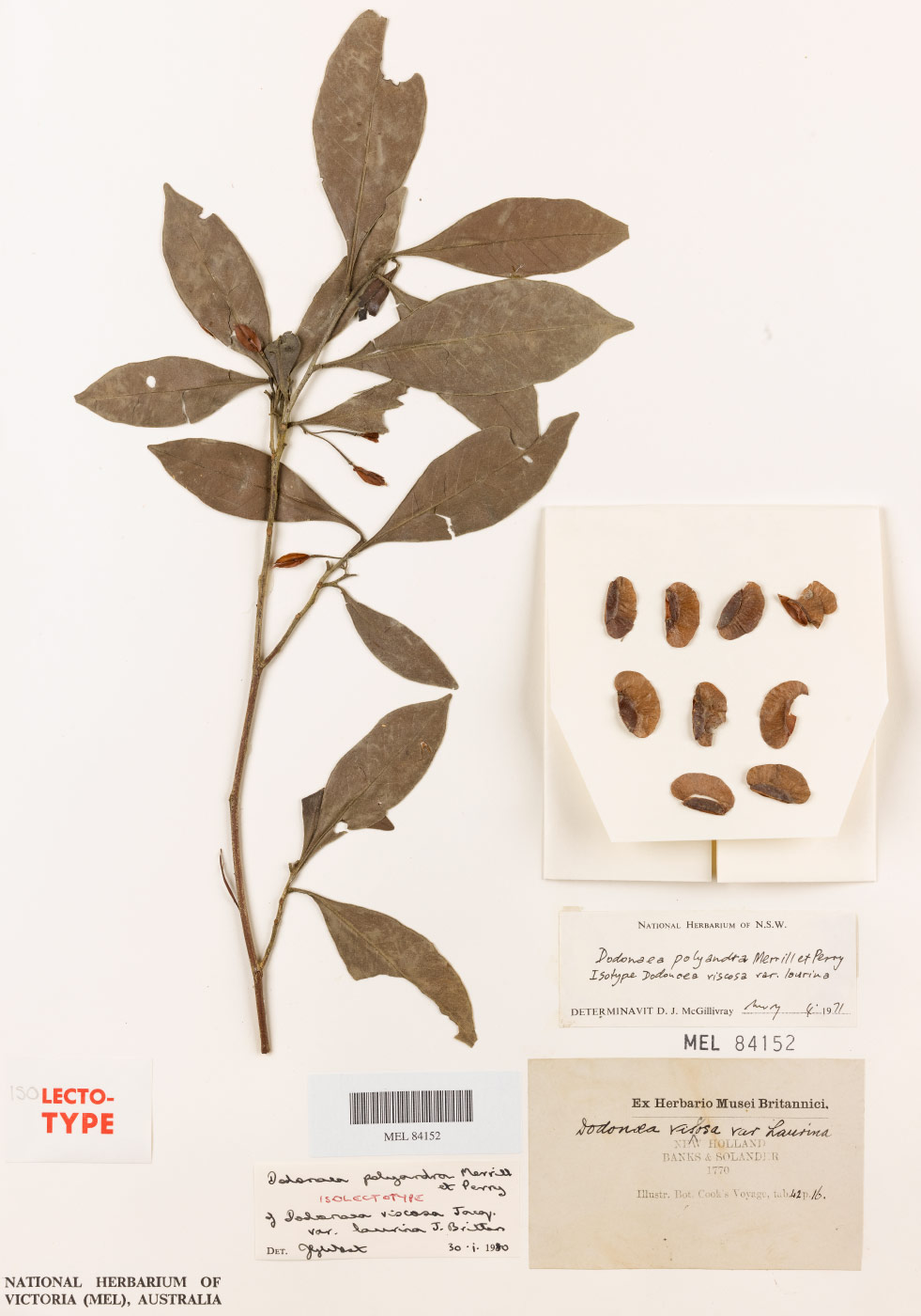 Plant specimen featuring a small branch of leaves, seeds, accompanying text and barcode. - click to view larger image